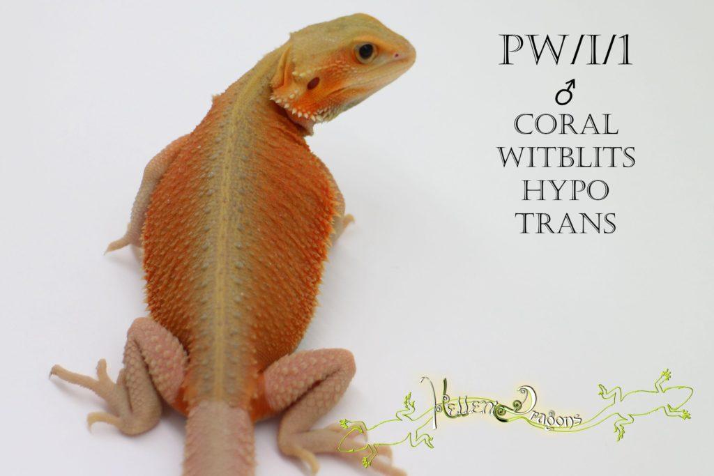 Hellenic Dragons – Allevamento Pogona Vitticeps – Bologna